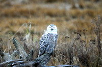 Snowy Owls at Boundary Bay, BC - February 19th, 2012